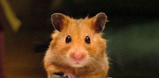Мишка за домашен любимец?