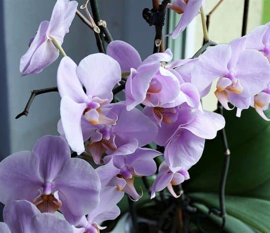 Как се отглежда орхидея?