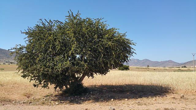 Арганово дърво в Мароко